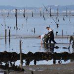 Esquerda Unida solicita ao goberno central un informe do Instituto Social da Marina sobre a situación do banco de ameixa da Ría de Ferrol